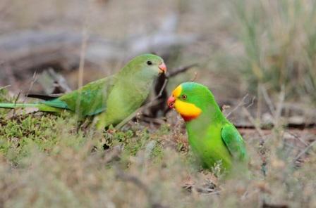 superb parrot barmah iconic wetlands